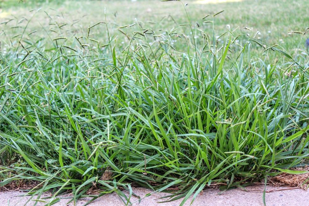 best crabgrass preventer